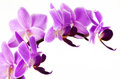 Pink orchid branch macro photo Royalty Free Stock Image