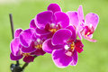 Pink orchid close up on blooming Royalty Free Stock Photography