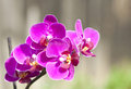 Pink orchid close up on blooming Royalty Free Stock Photos
