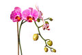 Pink orchid flower isolated on white Stock Photography