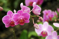 Pink  Orchid in the gar den, Phalaenopsis Stock Images