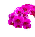 Pink orchid isolated on a white background Stock Image