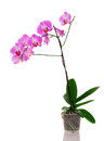 Pink orchid isolated white background Stock Photography