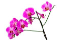 Pink orchid isolated white background Royalty Free Stock Photography