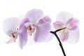 Pink orchid isolated on white bavkground Stock Images
