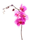 Pink orchid isolated white floral frame flowers close up over a background with empty copy space Stock Image