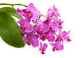 Pink orchid phalaenopsis Royalty Free Stock Photo