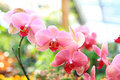 Pink orchid (phalaenopsis) Royalty Free Stock Image
