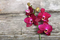 Pink orchid(Phalaenopsis) Stock Photo