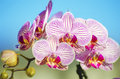 Pink orchid phalaenopsis a close up of a branch with blossomed striped petals of the beautiful flower the orchidea is a symbol of Royalty Free Stock Photos
