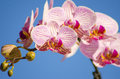 Pink orchid phalaenopsis a close up of a branch with blossomed striped petals of the beautiful flower the orchidea is a symbol of Royalty Free Stock Images