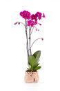 Pink orchid phalaenopsis from family over white background Royalty Free Stock Photography