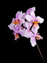 Pink orchid phalaenopsis philadelphia on a black background Stock Images
