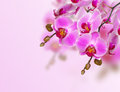 Pink orchid white background Royalty Free Stock Images