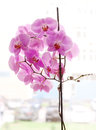 Pink orchid window flowers that put on a sill with cars and buildings visible as a background Royalty Free Stock Photography