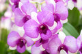 Pink Orchids in Bangkok, Thailand. Royalty Free Stock Photo
