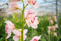 Pink orchids in a Dutch greenhouse Royalty Free Stock Photo