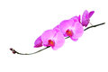 Pink orchids isolated on white Royalty Free Stock Photo