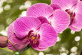 Pink orchids on the nature Stock Photography