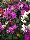 pink orchids in a nursery Royalty Free Stock Photo