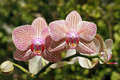 Pink orchids two pretty orchid blossoms with blurred background Royalty Free Stock Images