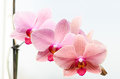 Pink orchids on a white background Stock Photo