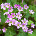 Pink oxalis(Oxalis corymbosa) Royalty Free Stock Photo