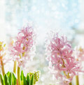 Pink pale hyacinths on blue bokeh background selective focus spring flowers Stock Photo