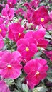 Pink pansies plant with flowers Stock Photo