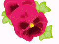 Pink pansy group and green leaves Stock Photo