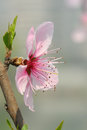 Pink peach blossom tree Royalty Free Stock Photo