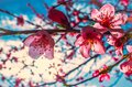 Pink peach blossoms on tree against a bright blue sky Royalty Free Stock Photo