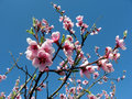 Pink peach flowers bloom Stock Photography