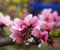 Pink Peach Tree Blossoms Royalty Free Stock Image