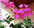 Pink Pelargonium flowers on the terrace Royalty Free Stock Photo