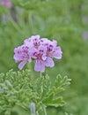 Pink pelargonium flowers on natural green background strong bokeh Royalty Free Stock Photo