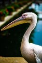 Pink pelican head portrait with and beak selective focus Royalty Free Stock Photo