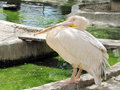 A pink pelican stands near the small river Royalty Free Stock Photo