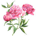 Pink peonies botanical watercolor illustration