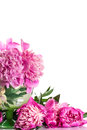 Pink peonies bouquet of on a white background Royalty Free Stock Images