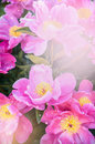 Pink peonies flowers floral nature background outdoor Stock Image
