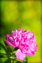 Pink peony сlose up of head of Royalty Free Stock Photos