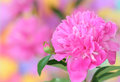 Pink peony Stock Photography
