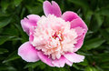 Pink peony on the background of green leaves Stock Photos