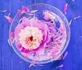 Pink Peony in bowl of water Royalty Free Stock Image