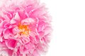 Pink peony closeup Royalty Free Stock Photos