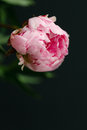 Pink peony on dark background Royalty Free Stock Photo