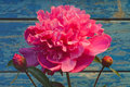Pink peony the flower on a blue grunge background Stock Image