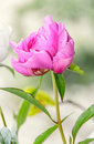 Pink peony flower with bud, bokeh blur background, genus Paeonia Royalty Free Stock Photo