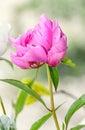 Pink peony flower with bud, bokeh blur background, genus Paeonia